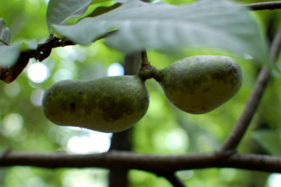 Paw paw fruits-2