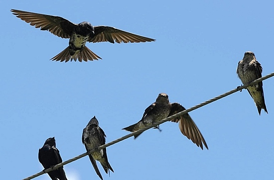 PurpleMartins