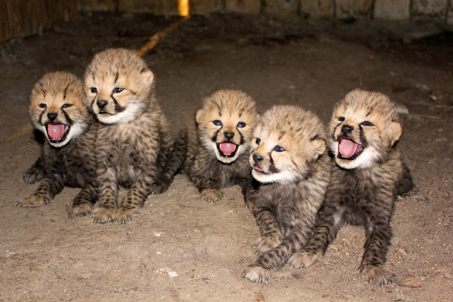 Cheetahs-03