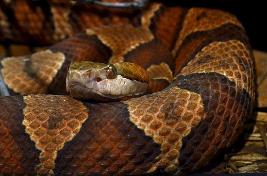 Virginia S Friendly Venomous Snakes