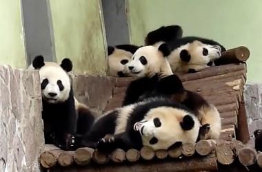 5Things-2014.08.14-Pandas