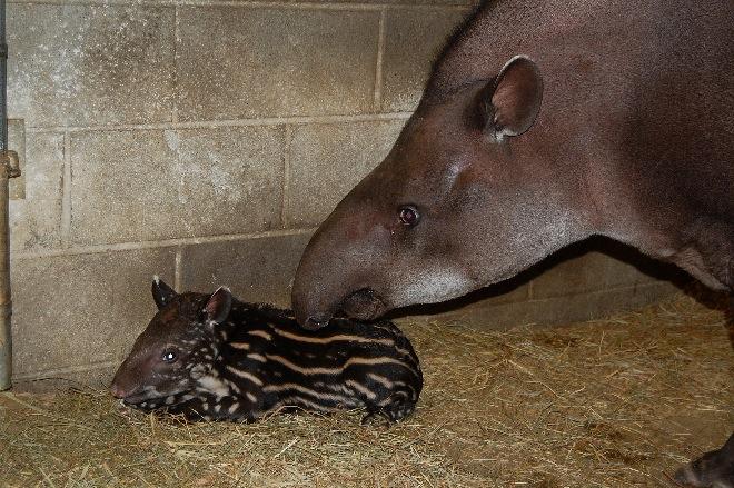 Tapir calf-01
