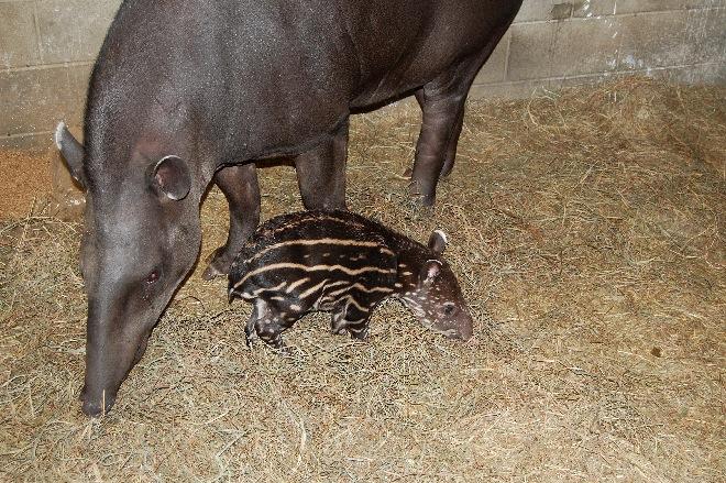 Tapir calf-02