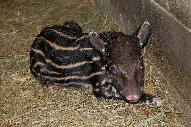 Tapir calf-03