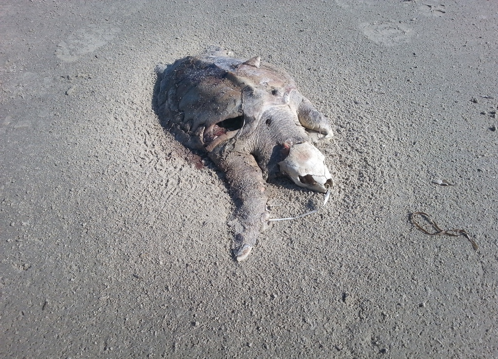 An endangered Kemp's ridley found stranded on Fisherman Island last summer. The VAQ Stranding Team conducted a necropsy and found two latex balloons in the GI tract, one with a ribbon attached which you can see protruding from the animal's mouth.